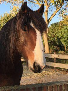 Paarden bij Paardencoaching Limburg-Noah-Discover-Coaching-Maastricht